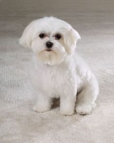 grooming cuts for maltese - Google Search