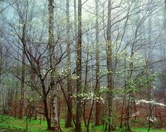 Dogwoods, Forest and Mists, Tennessee