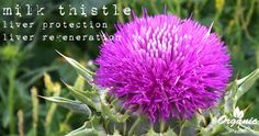What is Milk Thistle? What Is Milk, Milk Thistle, Natural Health, Planting Flowers, Herbs, Thistles, Weight Loss, Tips, Beauty