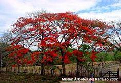 """Malinche en flor, """" Delonix regia"""", Costa Rica."""