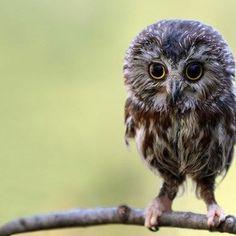 Owl fobia