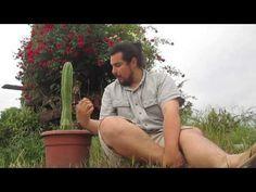 Cactus Echinopsis Pachanoi (San Pedro) - YouTube