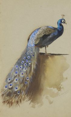 Watercolor sketch of a Indian or blue peafowl (Pavo cristatus) by Archibald Thorburn (Scottish, 1860-1935)