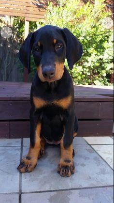 Doberman Pinscher Puppy Dogs #dobermanpinscher