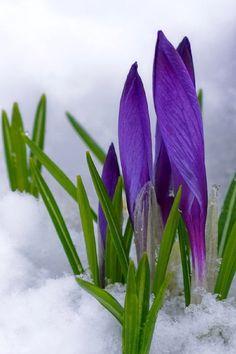 Purple Crocus Peeking through the Snow ♥ ~ the first sign of Spring