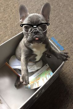 Blue NJY, the Geeky French Bulldog Puppy❤❤
