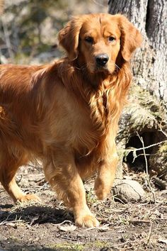 ☀What's Up by Sue Chisholm ~ Golden Retriever*