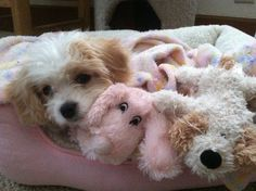 Bella and her friends.  My little Cavachon.