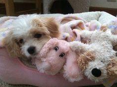 Bella and her friends.  My little Cavachon.