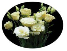 Il fiore di oggi: il Lisianthus