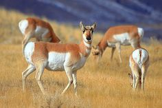 Pronghorn, Gallatin National Forest(I-Ting Chiang)