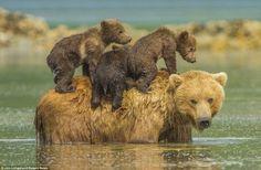 3頭の子グマを背負って川を渡る親ヒグマ