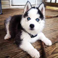 ♡♡♡Siberian Husky puppy