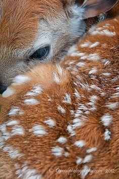 Newborn Fawn; Shenandoah National Park Photographer: Darren Barnes