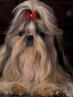 The Shih Tzu: A magnificent silky coat requiring constant maintenance.  Most people give up and shave the dog, at which point it just looks like any little dog.