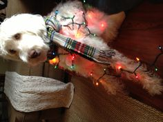 Christmas labradoodle 2 Labradoodles, Angels, Earth, Dogs, Christmas, Xmas, Angel, Pet Dogs, Labradoodle