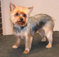 """The Yorkshire Terrier, or """"Yorkie,"""" is one of the most popular AKC breeds. It is at the top of our Bread & Butter client list. These long coats tend to mat and become too difficult for the aver… Yorky Terrier, Yorshire Terrier, Bull Terriers, Yorkshire Terrier Haircut, Yorkshire Terrier Puppies, Yorkie Cuts, Yorkie Hairstyles, Akc Breeds, Puppy Breeds"""