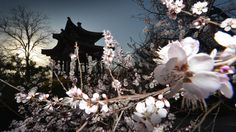 A cherry blossom stands beside an ancient Chinese pagoda at the Yuyuan Tan Park during the start of the blossom season in Beijing on March 2...