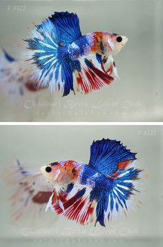 Red white and blue fancy betta fish Betta Fish Tank, Beta Fish, Fish Tanks, Beautiful Fish, Animals Beautiful, Pretty Fish, Aquascaping, Fauna Marina, Exotic Fish