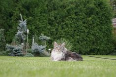 Maine Coon Cats Facts How old Maine Coons get and what you can do to increase their lifespan! - Do you want to know how old your Maine Coon probably is going to get? Read this article to learn about the average Maine Coon Lifespan and how to increase it! Chat Maine Coon, Maine Coon Kittens, Cats And Kittens, Bengal Cat For Sale, Siberian Cats For Sale, Bengal Cats, Siamese Cats, What Cats Can Eat, I Love Cats