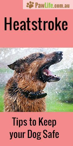 Heatstroke in dogs is serious, and it can be fatal if not treated quickly. Let's go through signs and symptoms and tips for prevention. #heatstrokeindogs #heatstroke #pethealth #doghealth #dogs #pethealthtips