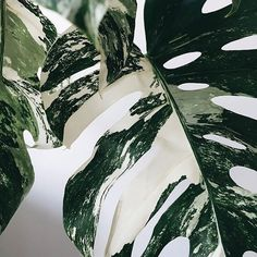 Life As A Water Element - Monstera Variegata (via Green Plants, Tropical Plants, Plants Are Friends, Monstera Deliciosa, Water Element, Green Life, Houseplants, Indoor Plants, Planting Flowers