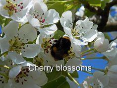 Cherry Blossoms  Цветение черешни
