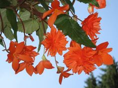 BegoniaPendula3-Asio