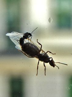 wedding flight: the last day of a male ant