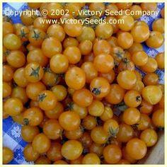 Gold Nugget Tomato - 55 days, determinate, Cherry (Victory)
