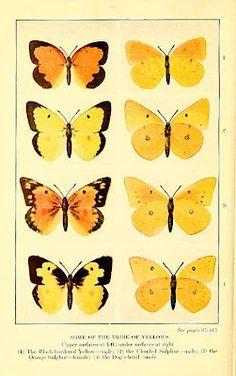 Yellow butterflies, bumble button