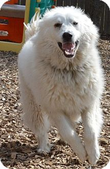 3/19/16 Pacific, MO - Great Pyrenees. Meet Shae a Dog for Adoption.