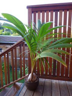 Cocos nucifera ~ Coconut Palm