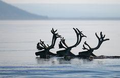 See Reindeer in their natural habitat