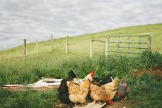 I wish I could have chickens! I love fresh eggs!