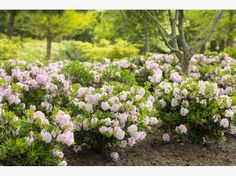 Buy rhododendron ( Inkarho group ) Rhododendron Bloombux (PBR) - Can be grown as a low hedge: pot: Delivery by Crocus Heather Plant, Rhododendron, Small Japanese Garden, Pot Plante, Flower Pots, Flowers, 10 Picture, Plantation, Hedges