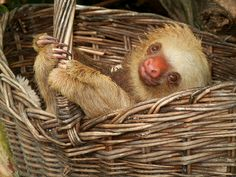 Those two toed sloths can sure be basket cases!