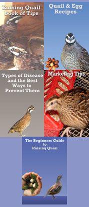 beginner's guide to raising quail,quail raising tips,quail disease,quail and egg recipes