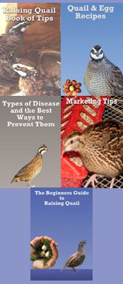 beginner's guide to raising quail,quail raising tips,quail disease,quail and egg recipes
