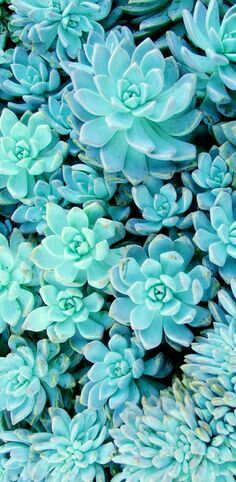 It's not exactly a flower, but I think this blue succulent has a place in this category : )