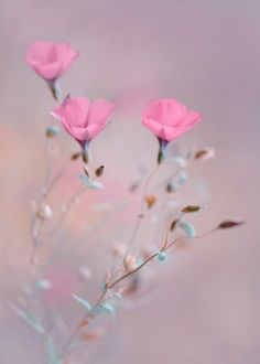 Pink flowers bring pops of cheer to any space. Learn about types of pink flowers and see pink flower images to help you find your perfect plant. My Flower, Pink Flowers, Beautiful Flowers, Flowers Pics, Cosmos Flowers, Cut Flowers, Flower Pictures, Flower Images, Flower Wallpaper