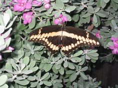 Giant Swallowtail butterfly on my Texas Sage bush