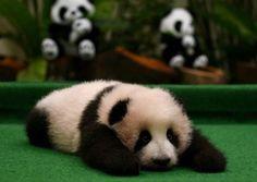 17.11 Un bébé panda, âgé de quatre mois, montré au public pour la première fois au zoo de Kuala Lumpur.Photo: AFP/Manan Vatsyayana