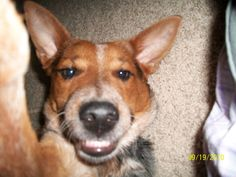 It seems our cattle dog Patrick learned how to take self shots while we were away!