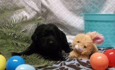 boy English Lab Puppies, Boys, Animals, Baby Boys, Animales, Animaux, Animal, Sons, Animais