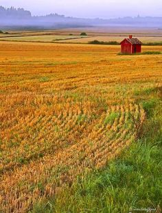 The little red house on a golden field, Sweden. Photography Marita Toftgard