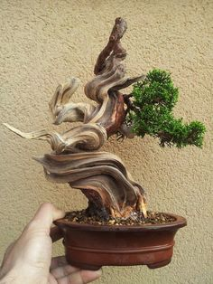 Bonsai: if you look closely, you can easily identify the live vein, (the part if the tree that  nourishes the rest)