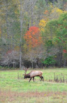 Elk in Cataloochee Valley in the Great Smoky Mountains National Park