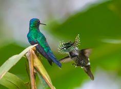Foto topetinho-verde (Lophornis chalybeus) por Daniel Mello | Wiki Aves - A Enciclopédia das Aves do Brasil