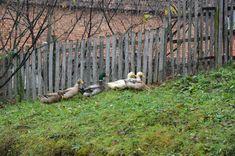 Village Ljutice in Serbia, ducks all around making yard so beautiful with their presence